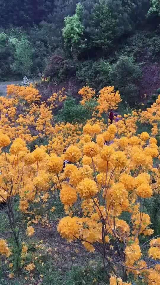 黄杜鹃种苗