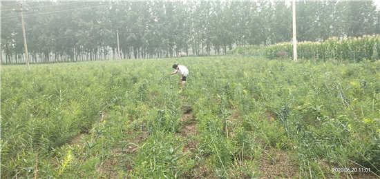 黄精种苗的处理方法和种植方法的一些相关资料