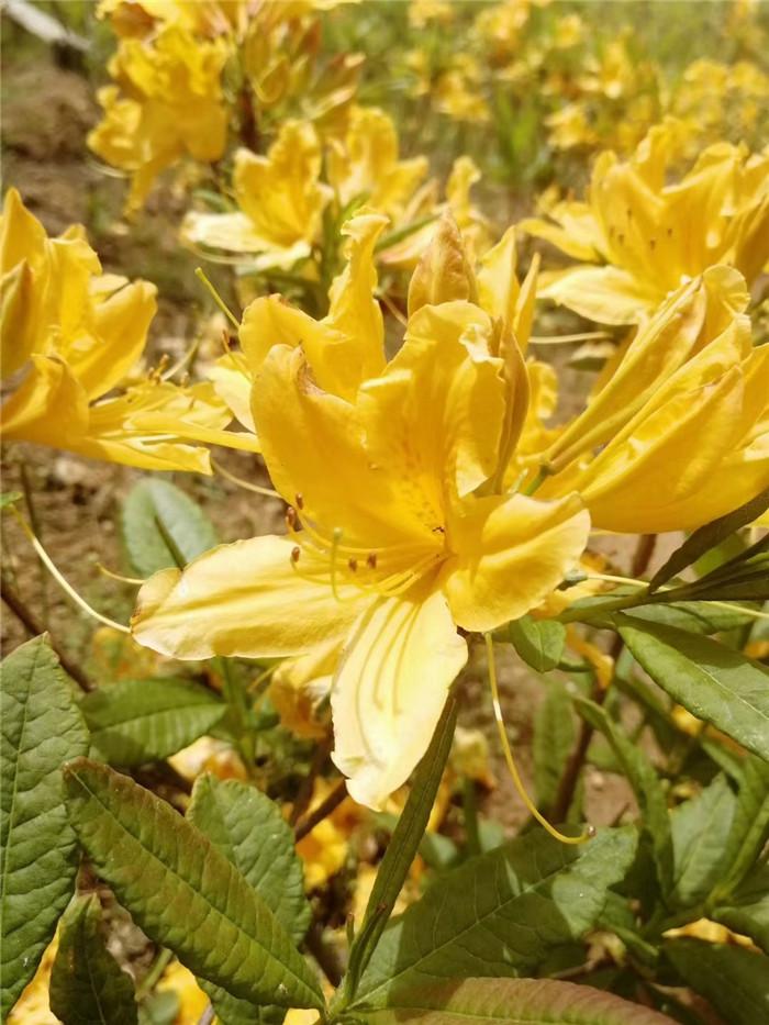 黄杜鹃种苗濒危植物,园林造景佳品
