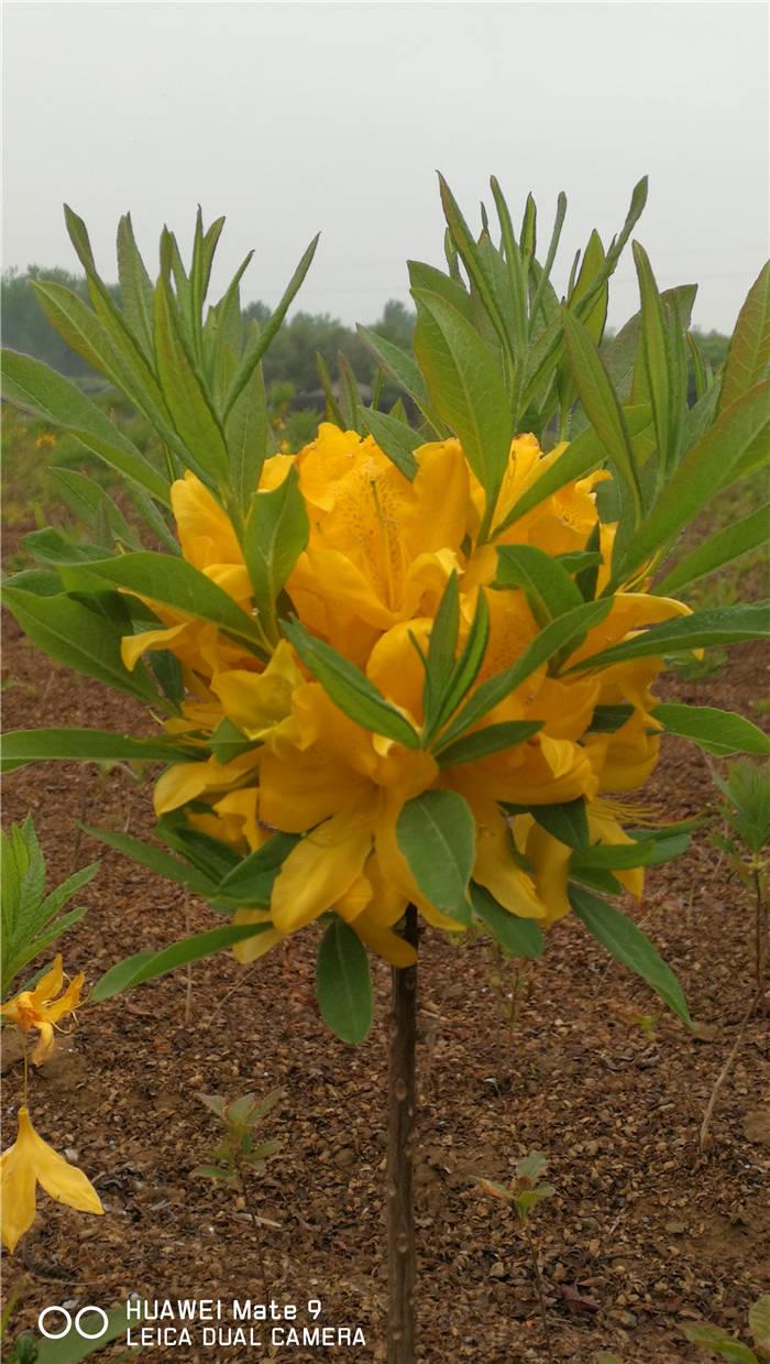 黄杜鹃花是杜鹃花的一种,因为花色为黄色而得名!多数用于园林观赏用途