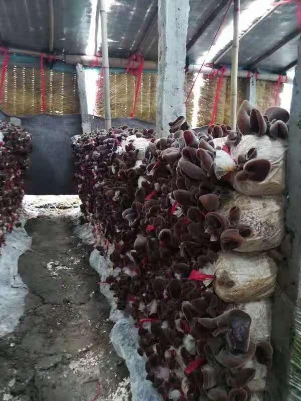 河南香菇种植培训