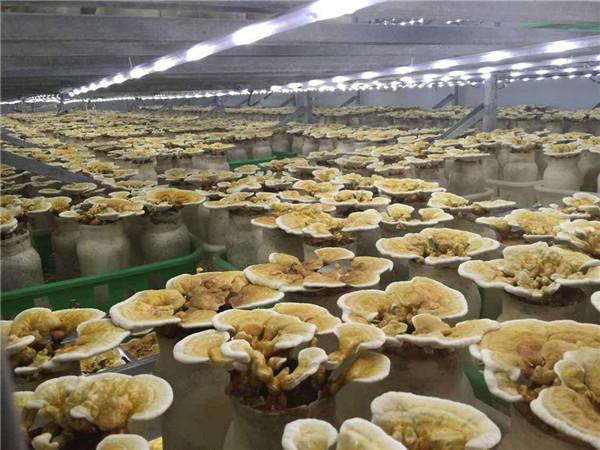 河南平菇栽培培训