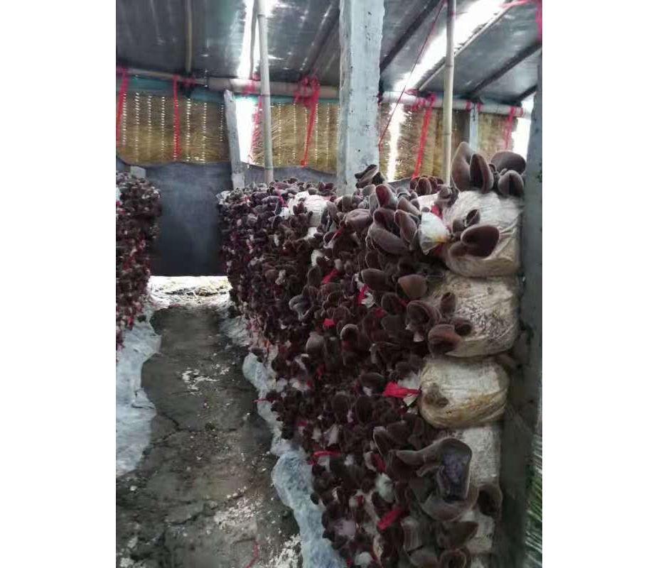 河南香菇种植培训种植技术