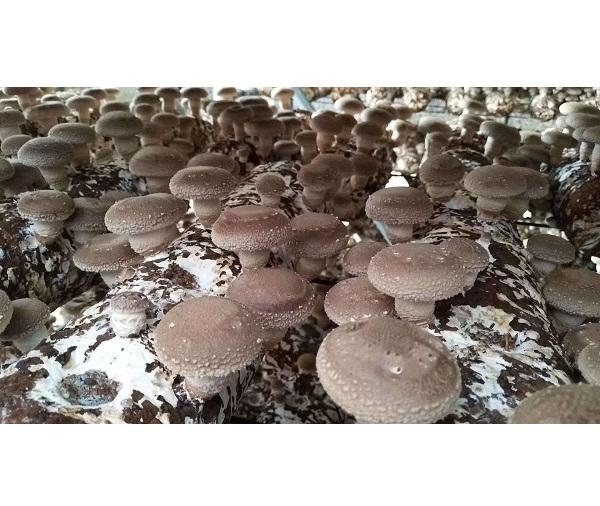 河南香菇种植培训价格