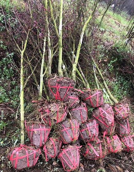 红枫苗案例展示