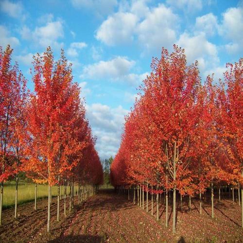 在秋天种植美国红枫会有什么影响呢?