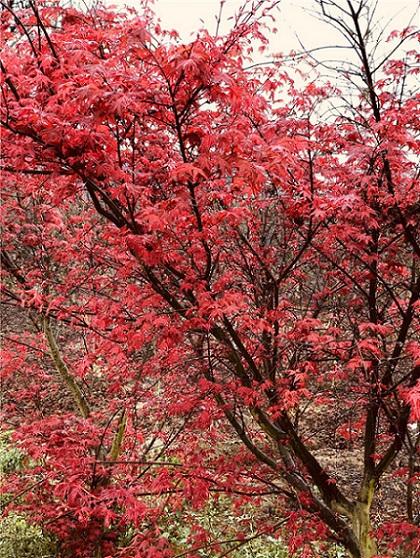 日本红枫基地