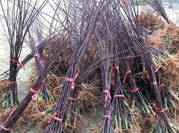 日本红枫案例展示