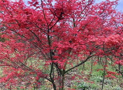 中国红枫基地