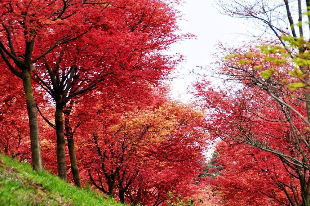 中国红枫用途