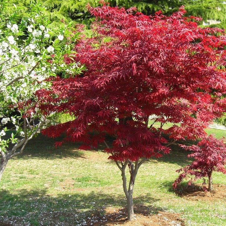 中国红枫生长习性
