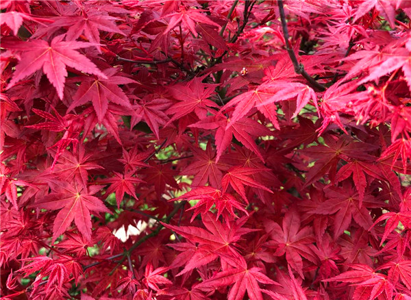 中国红枫种植