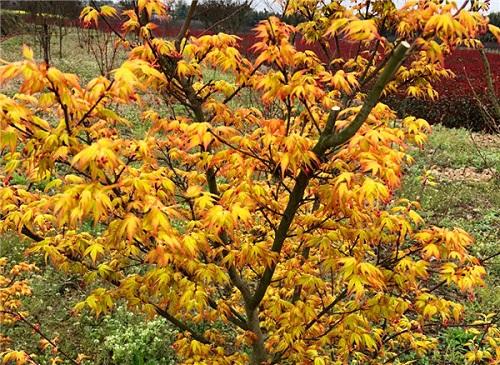 四川黄金枫种植