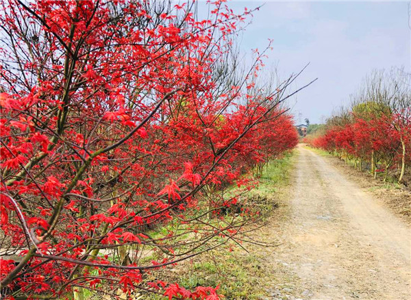 日本红枫种植
