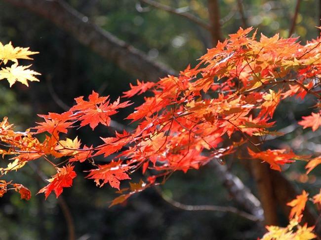 中国红枫VS日本红枫,二者有何区别?