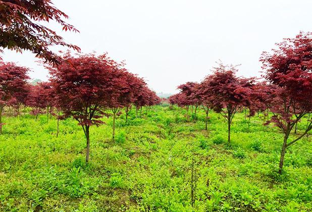中国红枫苗木