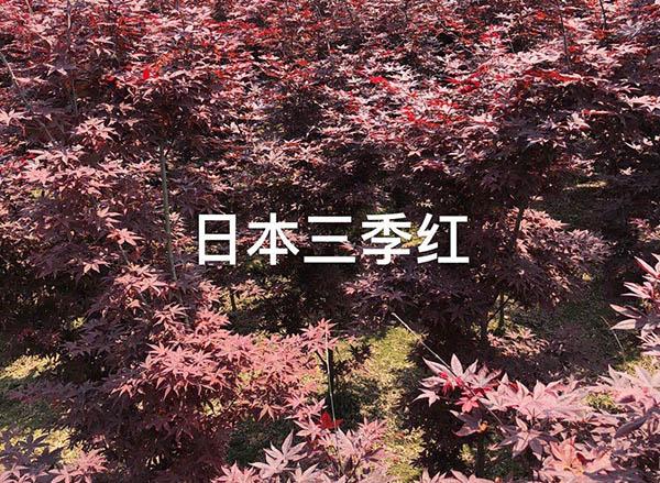 四川三季红枫基地