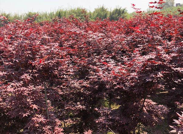 日本三季红枫