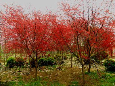 日本红枫在修剪时需要着重注意哪些事情?