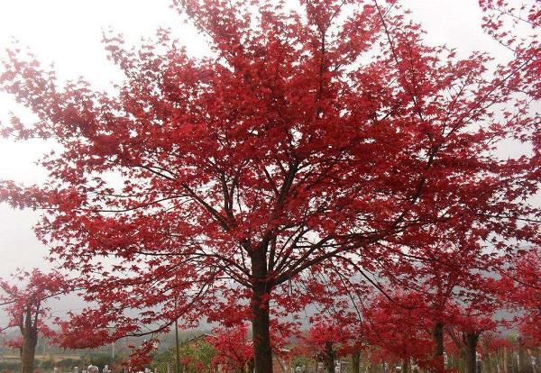 三月的中国红枫,是这个春季撩人的一抹红艳!
