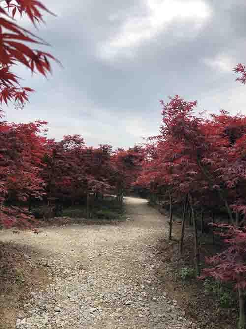 四川红枫案列