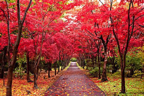 四川红枫种类