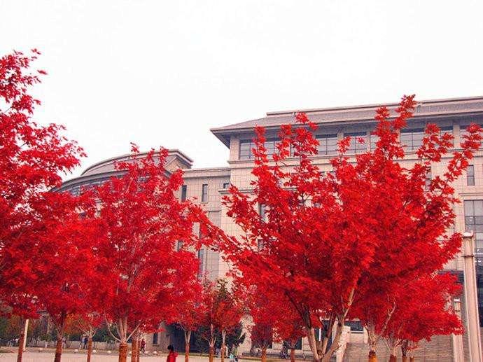 关于四川三季红枫栽培的4个方法步骤