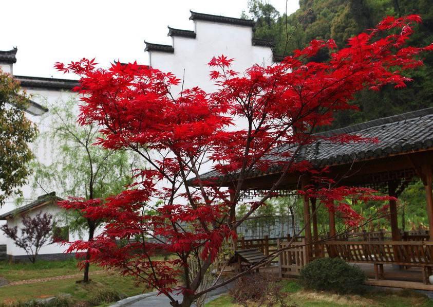 四川三季红枫
