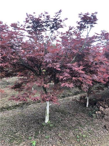 谁知道四川红枫可以种植在家里吗