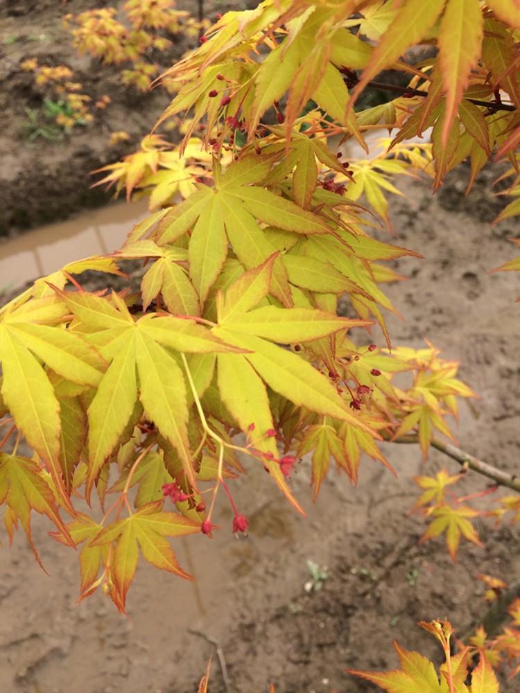 黄金枫的树叶图片