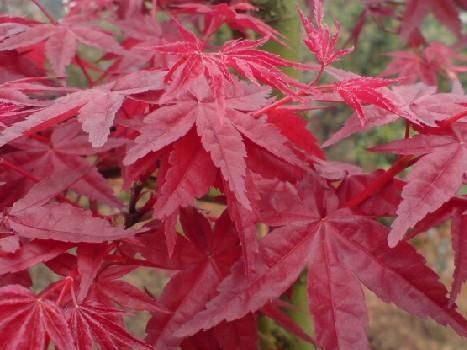 都是红枫,中国红枫、美国红枫、日本红枫有什么不同?