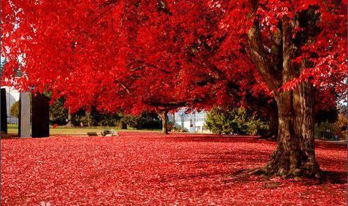 四川红枫厂家为您介绍日本红枫盆景