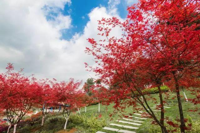喜欢红叶花卉就选这4种,养在家里红火喜庆,让生活更红火