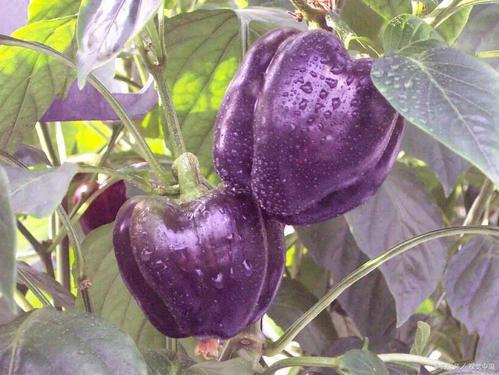 甜椒的育苗方法温室育苗
