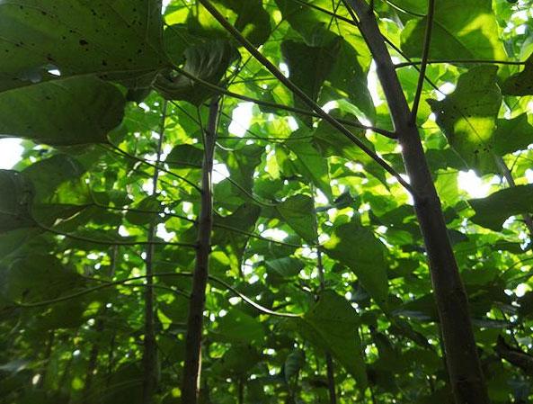 移栽完楸树做好下面这几步就可以提高楸树的成活率了