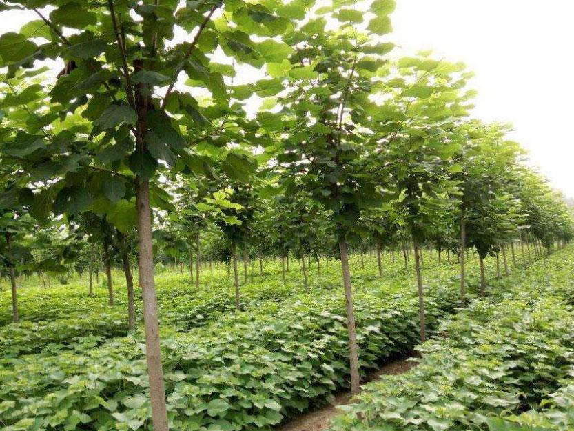 河南楸树小苗种植基地