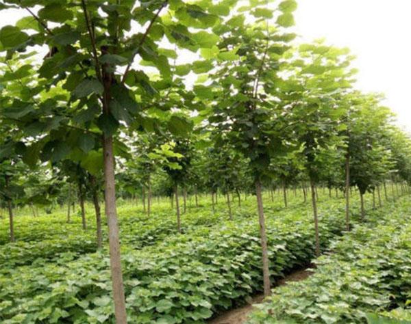 楸林花木·一心只为客户提供品质优良的产品