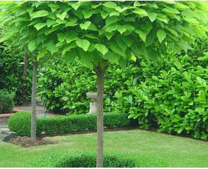 楸林花木·拥有多年苗木种植与养护行业经团队
