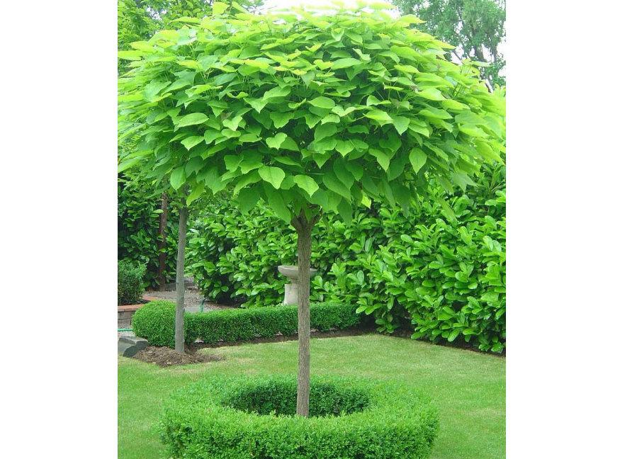 在天愿作比翼鸟,在地愿为连理枝,你知道连理树是什么树吗?