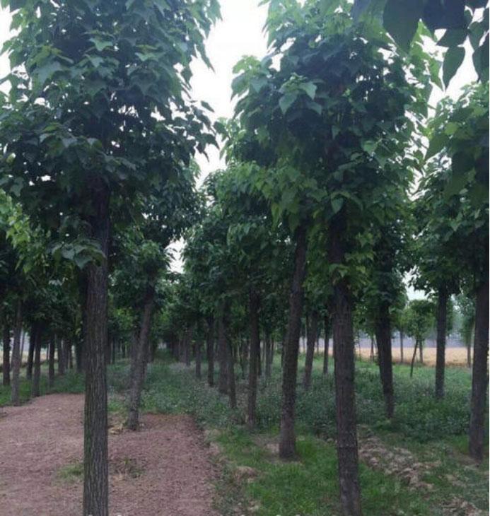 楸树的分布范围广泛,种类也特别多,你知道楸树的的品种有哪些吗?