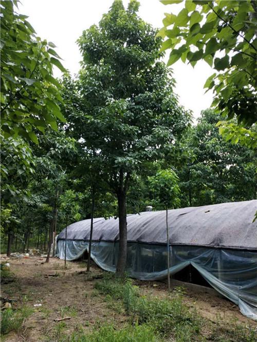河南楸树种植