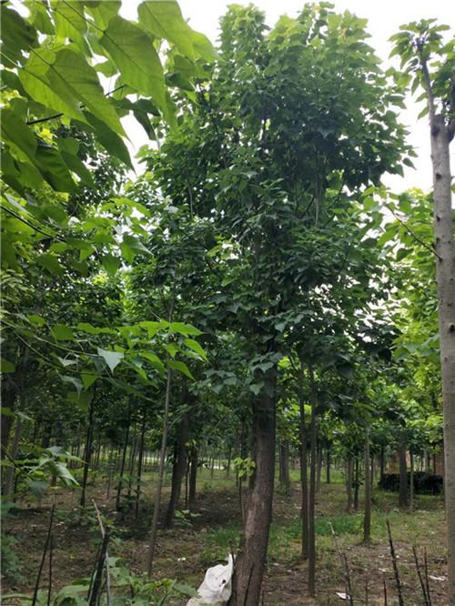 夏季那么炎热,而且夏季的害虫很多,你知道夏季该如何维护楸树吗?