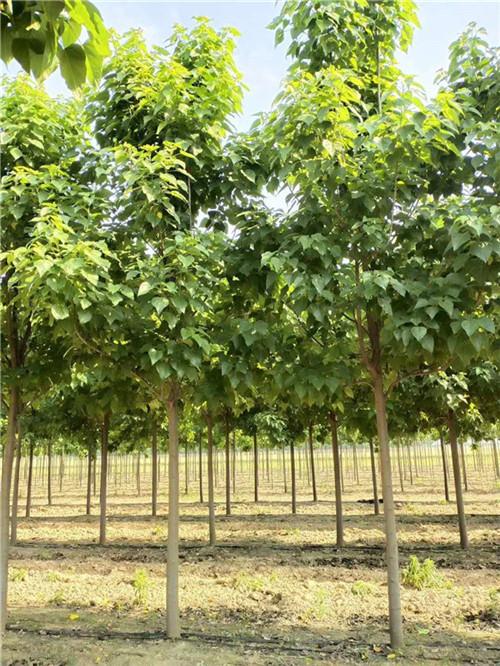河南楸树种植厂家