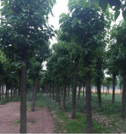 楸树价格多少钱一棵?楸树小苗厂家给我们具体的详解?