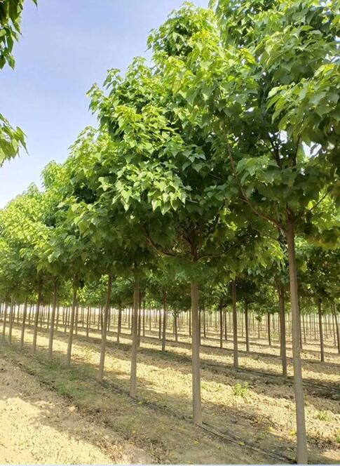 楸树繁殖有应该如何预防病虫害防治?