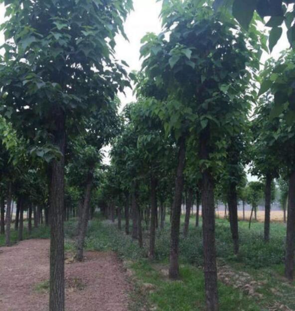 种植梓树的发展前景怎么样?梓树小苗厂家给我们具体的详解?