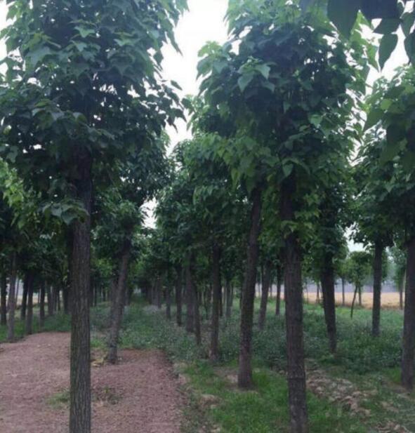 梓树在风景园林中有哪些应用?梓树小苗批发基地给我们具体的详解?