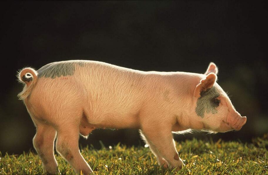 四川自动料槽讲解面对非洲猪瘟该如何应对?