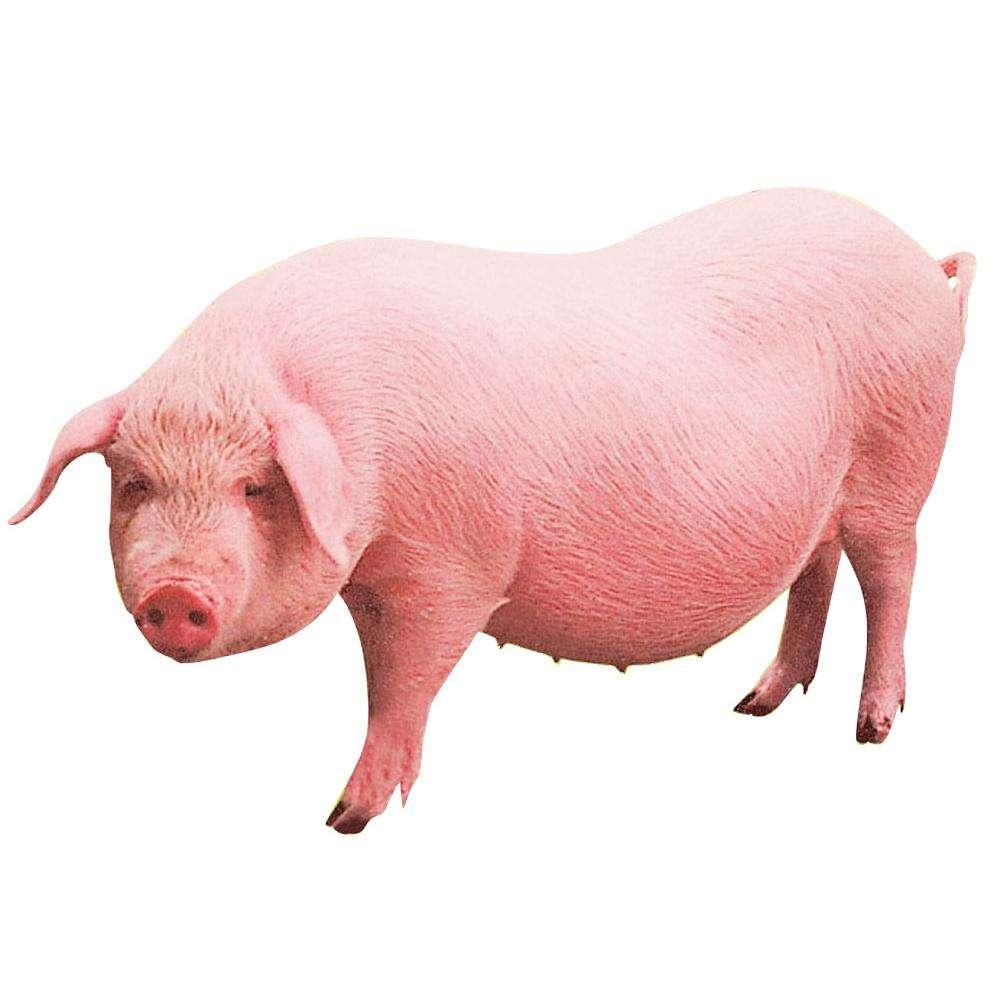 皇家88登录路线教你母种猪临产的辨别技术