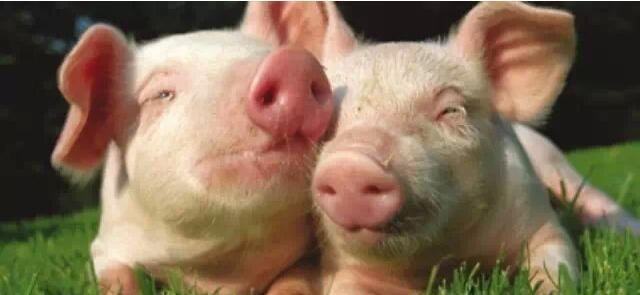四川风机水帘浅析养猪业的发展趋势
